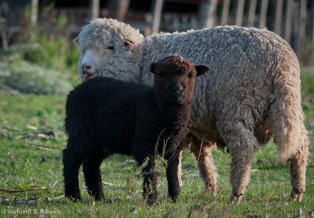 Masculino De Cabra E Ovelha