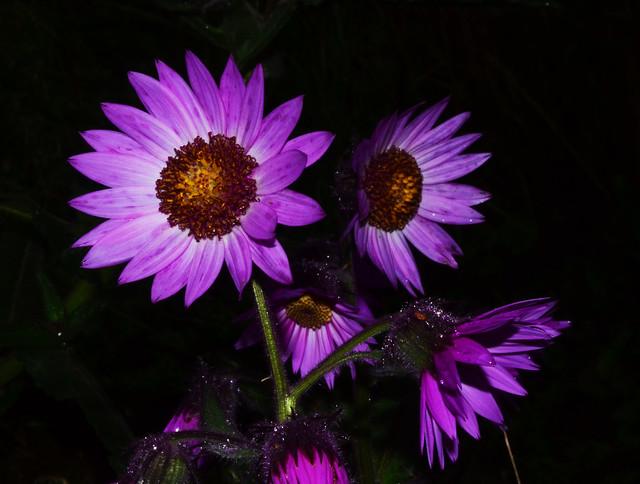 Senecio formosus-Árnica Morada, Purple Arnica | Flickr ...