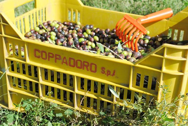 olive picking 5