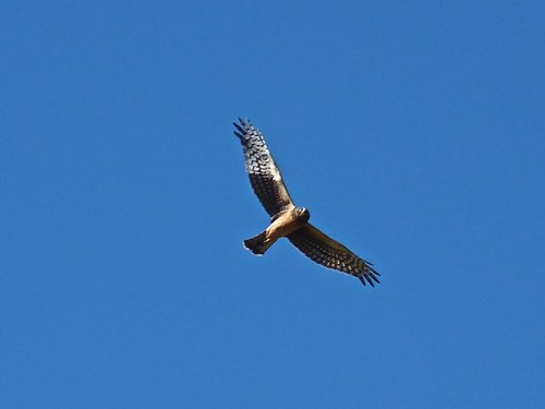 Female Northern Harrier - Bosque