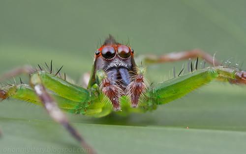 A male<i>Epeus</i>sp. IMG_6430 stk copy