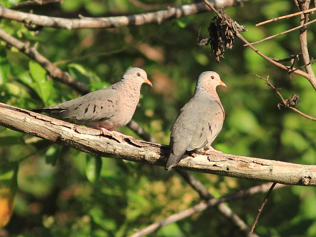 Common Ground-Doves 20121016