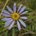 alpine aster - Photo (c) U.S. Department of Agriculture, some rights reserved (CC BY)