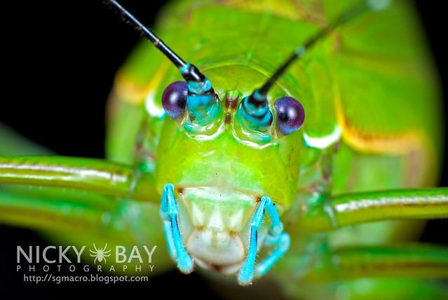Katydid (Tettigoniidae) - DSC_2165