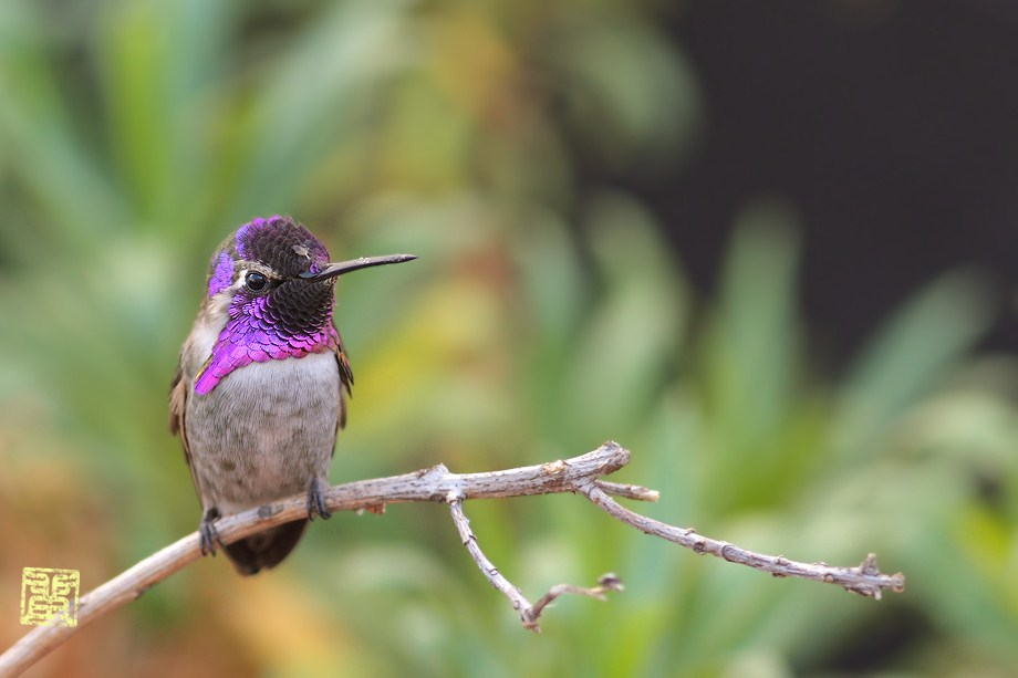 Costa's X Anna's Hummingbird 102012