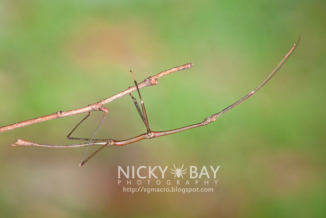Stick Insect (Phasmatodea) - DSC_2085