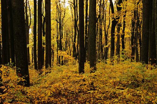 autumn yellow virginia shenandoahnationalpark october2012