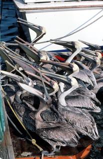 Pelicans awaiting a snack: Garrison Bight Docks, Key West, Florida