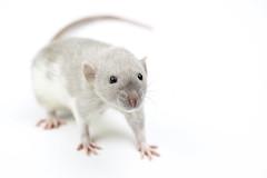 [フリー画像素材] 動物 1, 鼠・ネズミ, ラット ID:201210251000