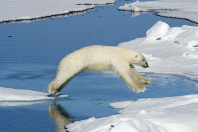 Polar Bear by John Tozer, Melbourne, Australia