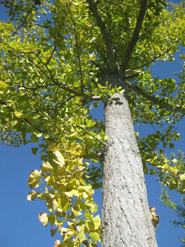 ginkgo trees and big blue sky II
