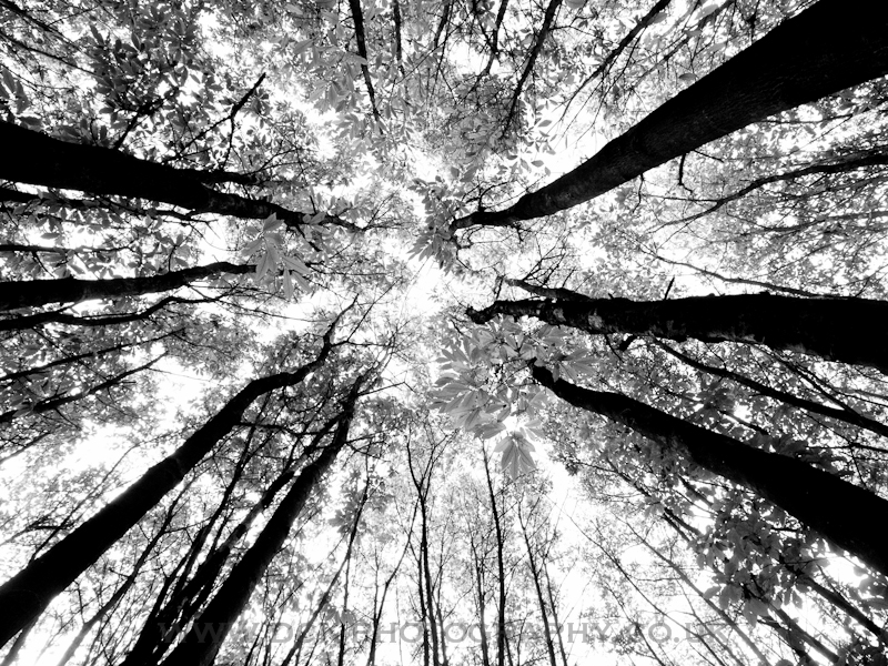 Looking Up #2 - B&W