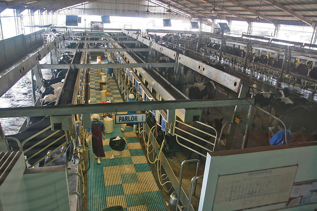 The milking parlour where each cow gets a few minutes