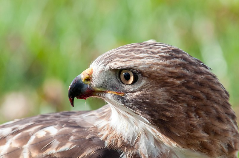 Portrait of a Red Tail Hawk