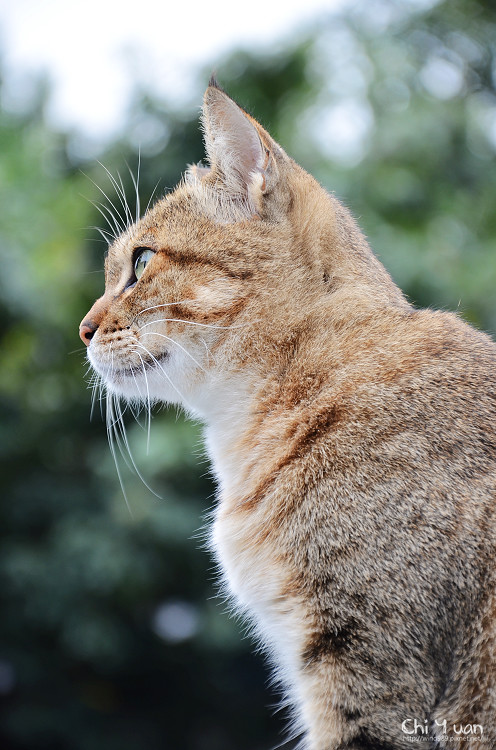 [Cat]台北淡水貓散步。三分鐘無限N連拍(警局專用停車場)
