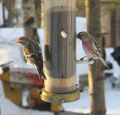 Another view of Redpolls at nyjer feeder