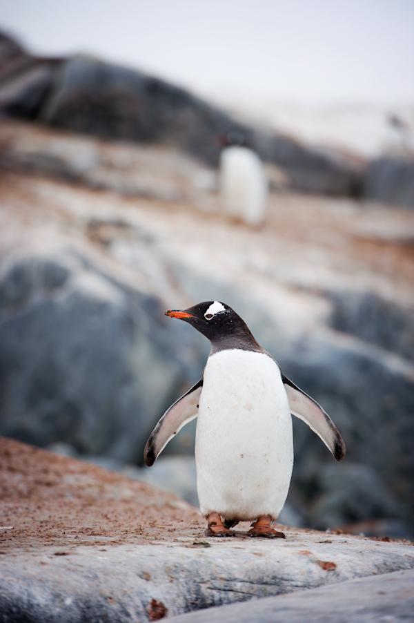 RYALE_Antarctica_Penguins-35
