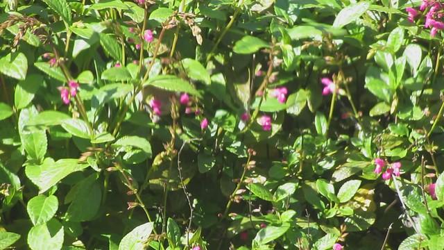 MVI_5329 bushtit feeding purple sage goleta 16s