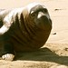 Male Elephant Seal casts a come hither look