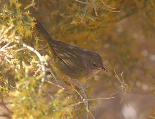 MacGillivray's Warbler Butterbredt Spring 2012.10.24 01b