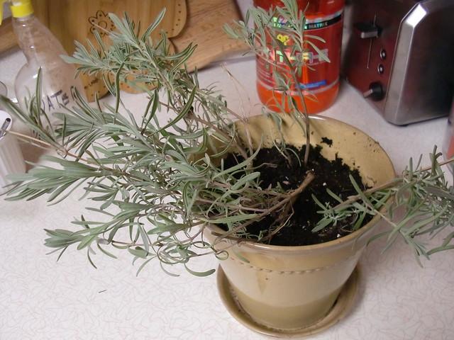 Rooting Lavender