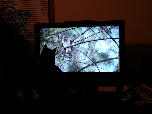 Rajah Watching Hawk on TV