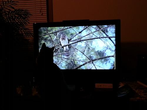 Rajah Watching Hawk on TV