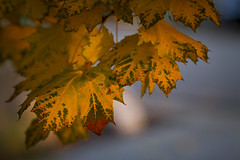 maple leaves - autumn - 11-02-12  01