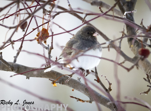 Dark Eyed Junco by Ricky L. Jones Photography