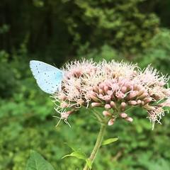 Papillon sur fleur #papillon #fleur #bleu @genevatourism