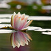 Water Lily by mclcbooks