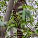 Small photo of Bicoloured Hawk (Accipiter bicolor)