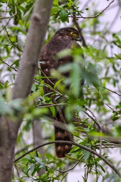 Header of Accipiter bicolor