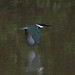 Small photo of Amazon Kingfisher (Chloroceryle amazona)