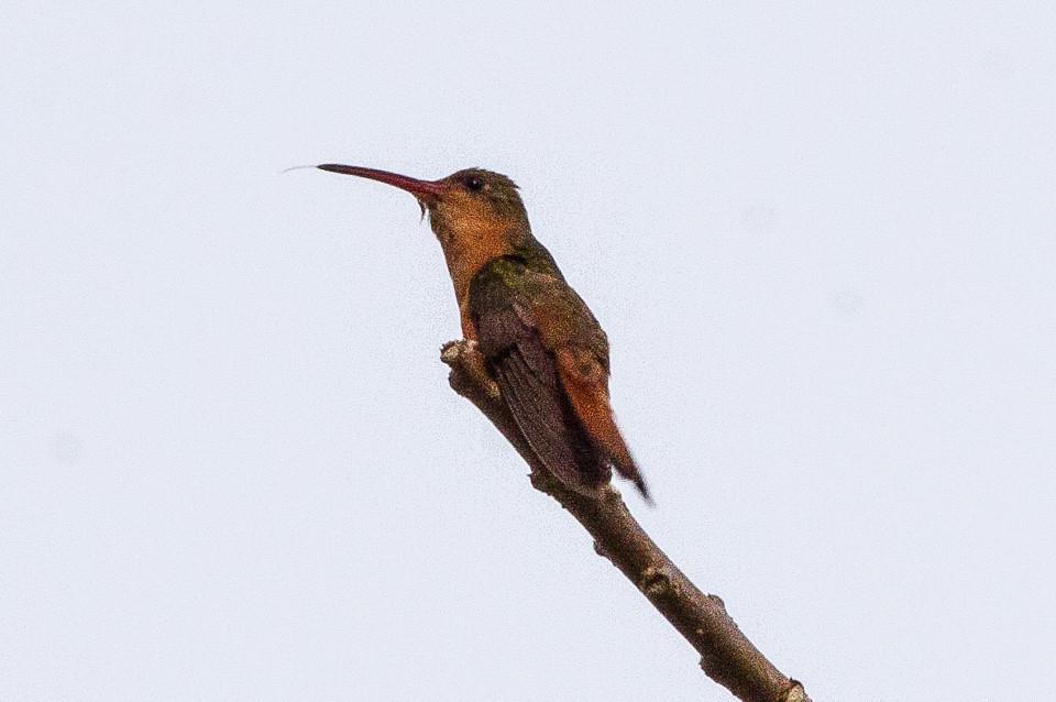 Image result for cinnamon hummingbird