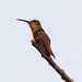 Small photo of Cinnamon Hummingbird (Amazilia rutila)