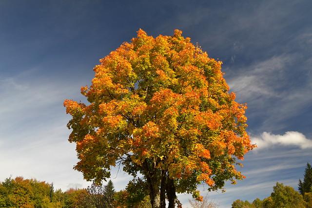 Beautiful tree in autumn colors on Obersalzberg