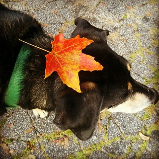 """Where oh where did that #leaf go?"" #dogstagram #dogs #fall #leaves #instadog #hound #rescue #adoptdontshop #picoftheday"