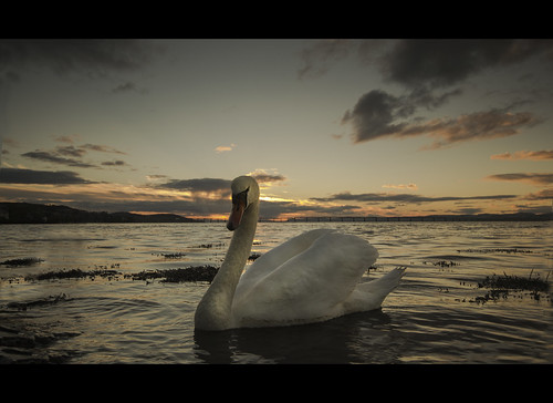River Tay - Swan by Michael~Ashley