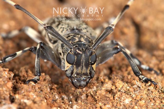 Longhorn Beetle (Cerambycidae) - DSC_6294