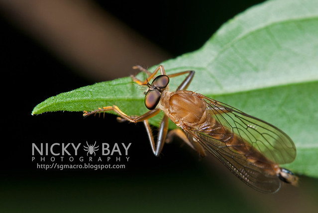Robberfly (Asilidae) - DSC_5836