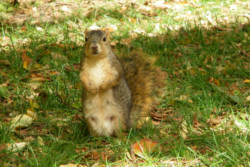 Squirrels at the University of Michigan, Tuesday October 16, 2012