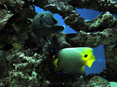 tropics(0.0), coral reef(1.0), coral(1.0), fish(1.0), coral reef fish(1.0), organism(1.0), marine biology(1.0), stony coral(1.0), green(1.0), fauna(1.0), natural environment(1.0), underwater(1.0), reef(1.0), pomacanthidae(1.0),