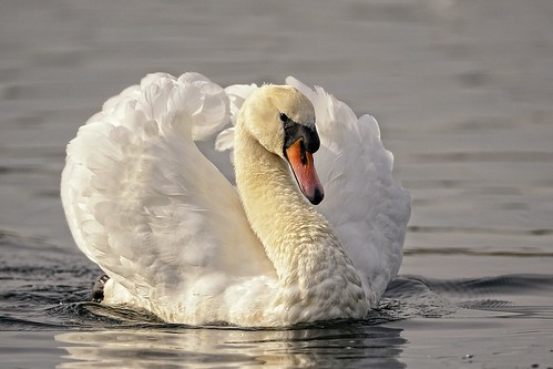 Swan on the Lake by Rivertay (more off than on)