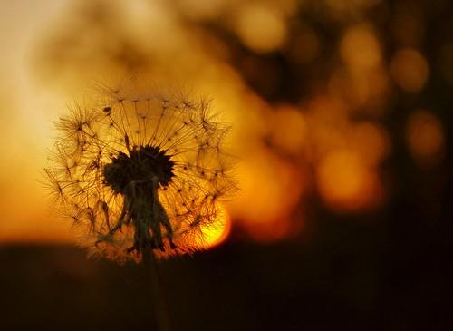 dandelion silhouettes