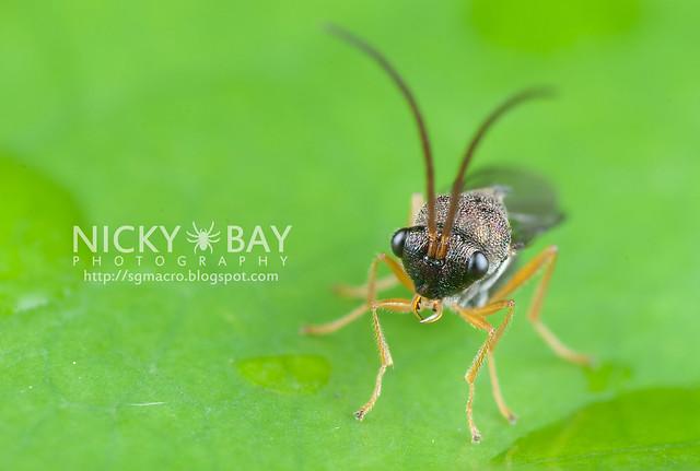 Eucharitid Wasp (Eucharitidae) - DSC_1638