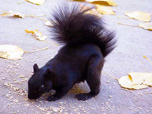 melanistic fox squirrel