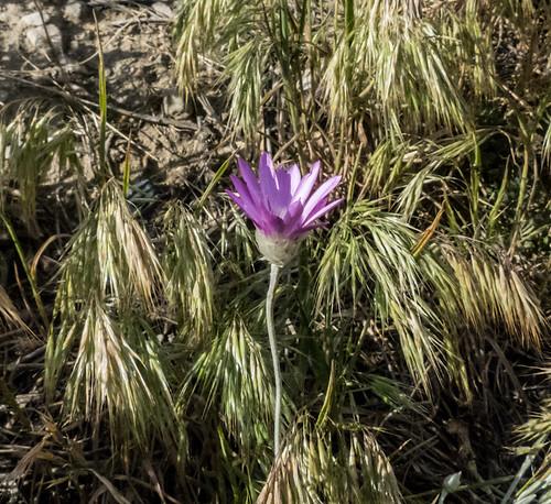 europe armenia asteraceae wildplants tsapatagh peterphoto gegharkunik xeranthemumcylindricum