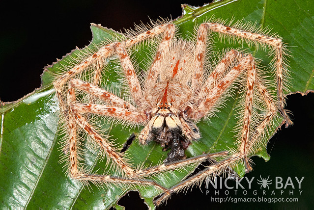 Huntsman Spider (Sparassidae) - DSC_0552