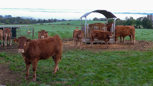Some limousin cattle